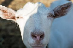 Close up of curious white ewe looking directly at camera. Cute sheep with friendly face.  stock photo