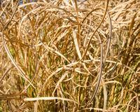 A close up of curled dried reeds Stock Image
