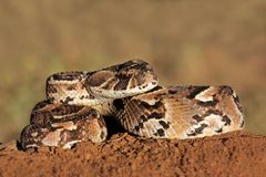 Puff adder. Close-up of a curled puff adder (Bitis arietans) snake ready to strike stock image