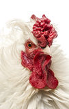 Close up of a curly feathered rooster, isolated. On white Stock Photos