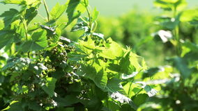 Close up of currant bush, berries moving with wind. Slow motion.  stock footage