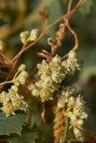 Cuscuta campestris close up. Close up of Cuscuta campestris branches with white inflorescence Stock Photo