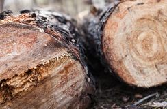 Close up of cut pine logs in the forest Stock Photo