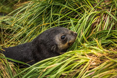 Close-up of cute Antarctic fur seal pup Royalty Free Stock Photography
