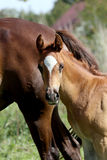 Close up of a cute arabian breed foal Royalty Free Stock Image