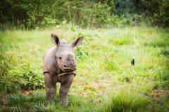 Close up of a cute baby rhino. Close up of a very cute baby rhino in South Africa royalty free stock photo