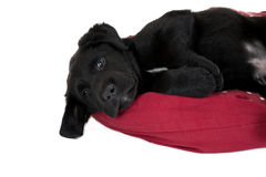 Close up of a cute black lab pup Royalty Free Stock Images