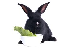 Close-up of cute black rabbit eating Stock Photography