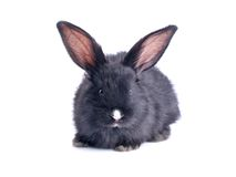 Close-up of cute black rabbit eating Royalty Free Stock Images