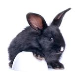 Close-up of cute black rabbit eating Royalty Free Stock Image