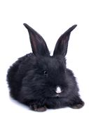 Close-up of cute black rabbit Stock Photo