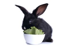 Close-up of cute black rabbit eating Stock Image