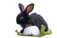 Close-up of cute black rabbit eating green salad Stock Photography