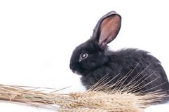 Close-up of cute black rabbit of white background.  Royalty Free Stock Photo
