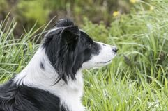 Colose up of a cute border collie royalty free stock image