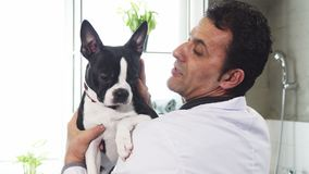 Close up of a cute Boston Terrier canine in the hands of a male vet. Close up of a handsome mature male professional vet holding adorable Boston Terrier dog Royalty Free Stock Photo