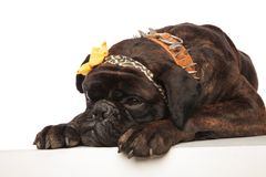 Close up of cute lying boxer with leopard print headband. Close up of cute boxer with leopard print headband lying on white background. It wears a brown spiked stock photo