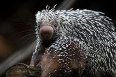 Close-up of a cute Brazilian Porcupine Stock Image