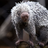 Close-up of a cute Brazilian Porcupine Royalty Free Stock Image