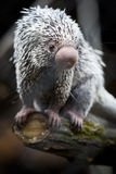 Close-up of a cute Brazilian Porcupine Stock Photography