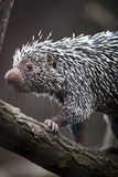 Close-up of a cute Brazilian Porcupine royalty free stock photo