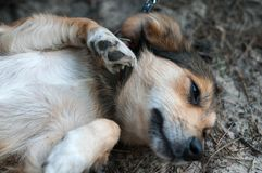Close up of cute brown dog lying on ground stock photography