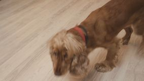 Cute spaniel eats dry food, leaves the bowl and return to finish eating food
