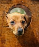 Cute brown puppy poking its face through a hole. Close up of a Cute brown puppy poking its face through a hole in a wooden box royalty free stock photography