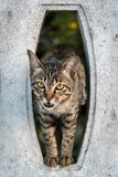 Close up The cute cat comes out of the cement wall with a hole and looks straight ahead with doubt stock photo