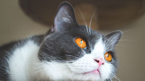 Close up of cute cat`s face. Scottish fold ears unfold golden eyes and gray and white body color. Feeling lonely. Royalty Free Stock Images