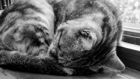 The close up of cute cat sleeping on the wooden table. Royalty Free Stock Images