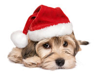 Close-up of a cute Christmas Havanese puppy dog Stock Image