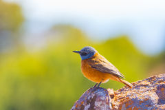 Close-up of a cute colorful Cape Rock Thrush stock photography