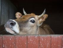 Close up cute courious ginger calf cow head looking out of stall. Box, selective focus, copy space stock image