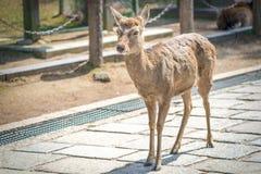 Close up the cute deer at Todaiji temple in Nara perfecture Japan royalty free stock image
