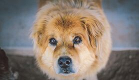 Close Up Of Cute Dog Looking At The Camera Royalty Free Stock Image
