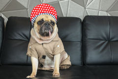 Close-up cute dog pug bored with Hip Hop hat on black sofa in room look out side , tongue pacifier mouth with gray shirt (. Like rapper Stock Image