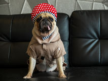 Close-up cute dog pug bored with Hip Hop hat on black sofa in room look out side ,  tongue pacifier mouth with gray shirt. Stock Image