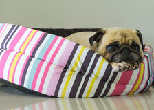 Close-up cute dog Pug puppy resting on bed and watching camera Stock Images