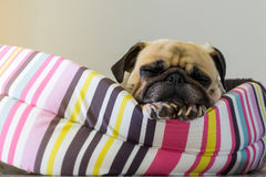 Close-up cute dog Pug puppy sleep resting on her bed Royalty Free Stock Photos
