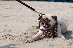 Close-up cute dog pug wink eye fear and afraid water sea beach when people try to pull pug to play swim on sand Royalty Free Stock Image