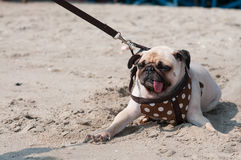 Close-up cute dog pug wink eye fear and afraid water sea beach when people try to pull pug to play swim on sand. Thailand Stock Image