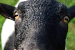 Close-up of Cute Dwarf Goat Face. Nigerian dwarf goat in summer stock photo