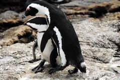 Africa- Close Up of South African Penguins Mating stock photography