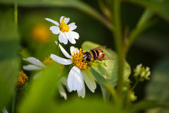Close up cute flower flies on a Daisy flower Royalty Free Stock Photos
