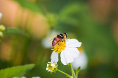 Close up cute flower flies on a Daisy flower Stock Photography