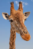 Close up Cute funny giraffe head on blue sky background. Close up Cute funny giraffe head, blue sky background Royalty Free Stock Images