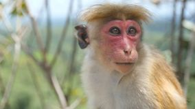 Close up of cute funny monkey sitting in tropical park on sunny day. Wild small macaque resting in rainforest. Blurred. Nature landscape at background stock footage