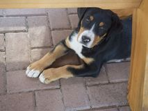 close up cute greater swiss mountain dog puppy portrait lyingunder garden wooden table, sad look, selective focus stock image