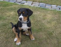 Close up cute greater swiss mountain dog puppy portrait sitting. In the green grass, selective focus stock image